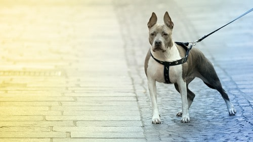 Beautiful Pitbull dog in the street