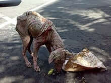 emaciated feral dog with severe sarcoptic mange