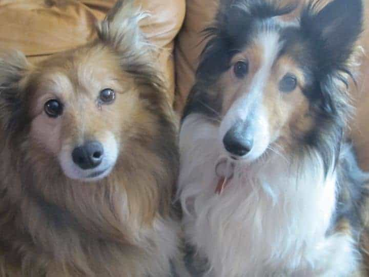 How And Good Can Your Sheltie