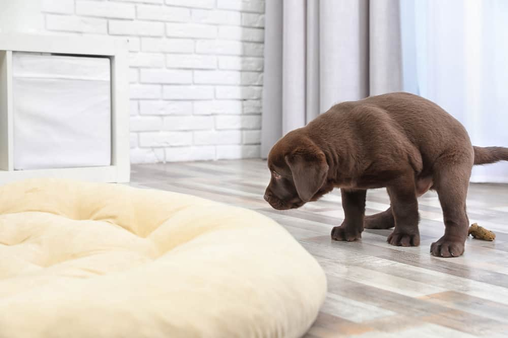 Chocolate Labrador Retriever puppy pooping on floor indoors