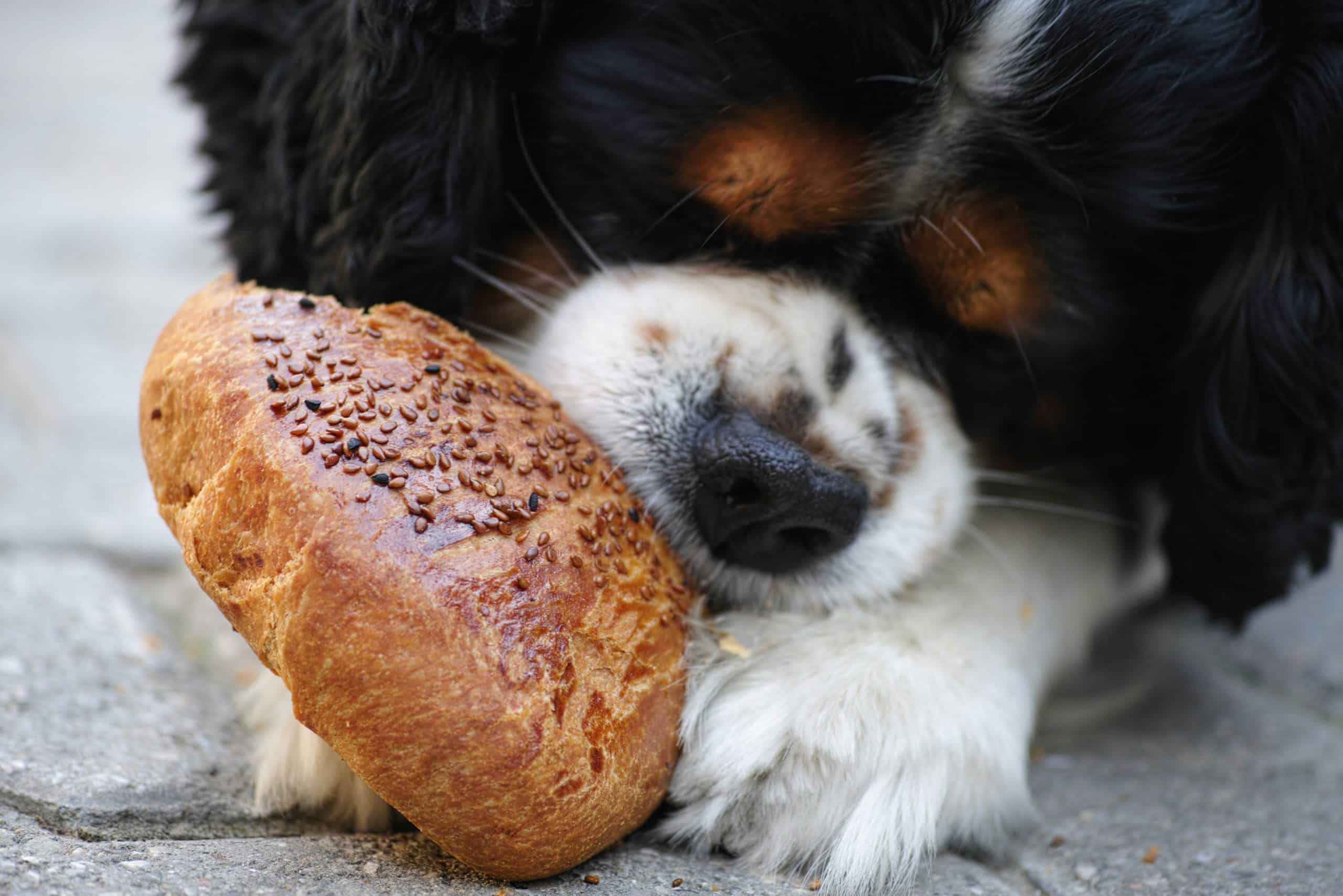 tricolor-cavalier-king-charles-spaniel-puppy-eating-bread
