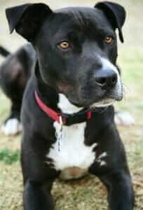 Labrador Pitbull