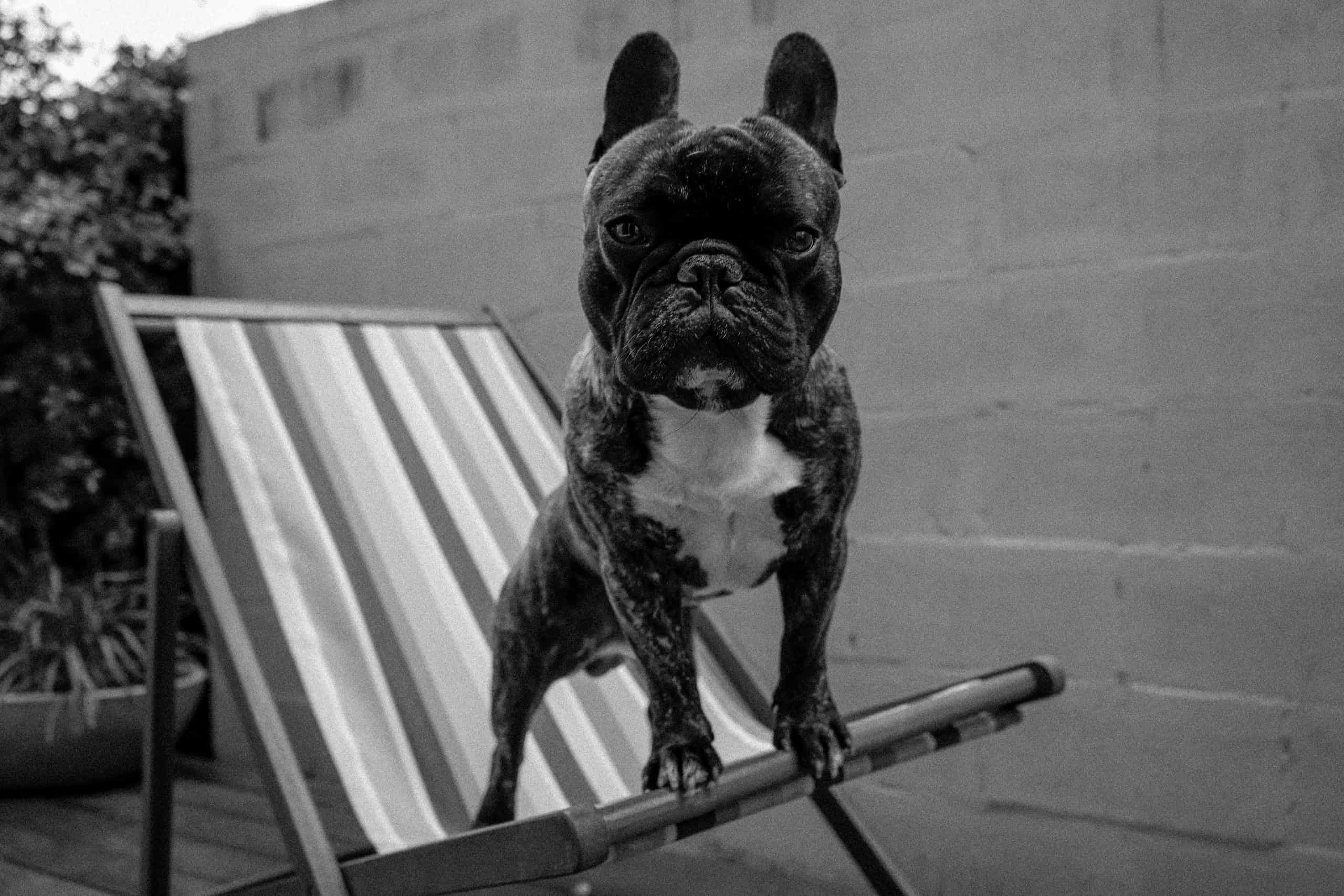 5 Of The Best French Bulldog Puppy Food Guide And Review M Dog
