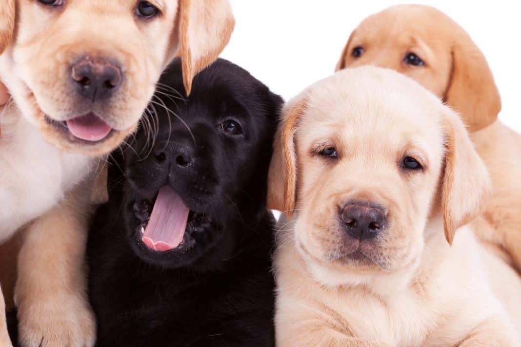 Four little labrador retriever puppies