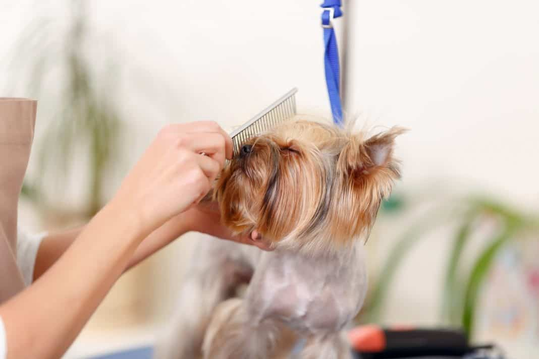 Yorkshire terrier enjoys the process of brushing