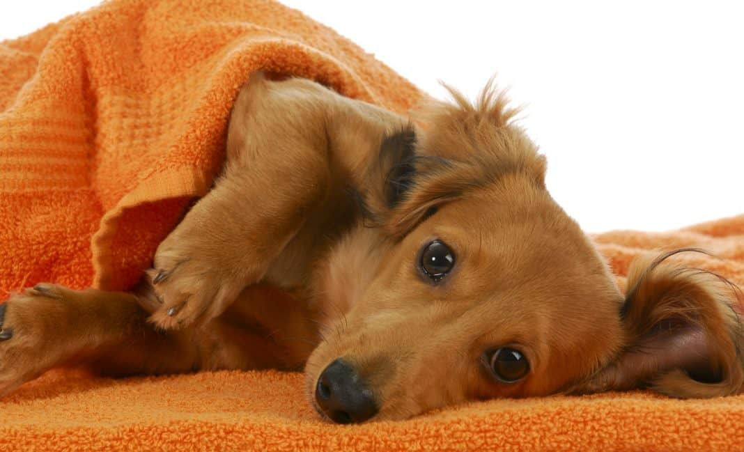 shampoo for dog