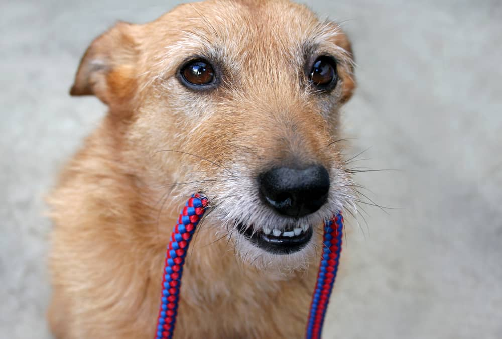 Dog holding a leash in her mouth