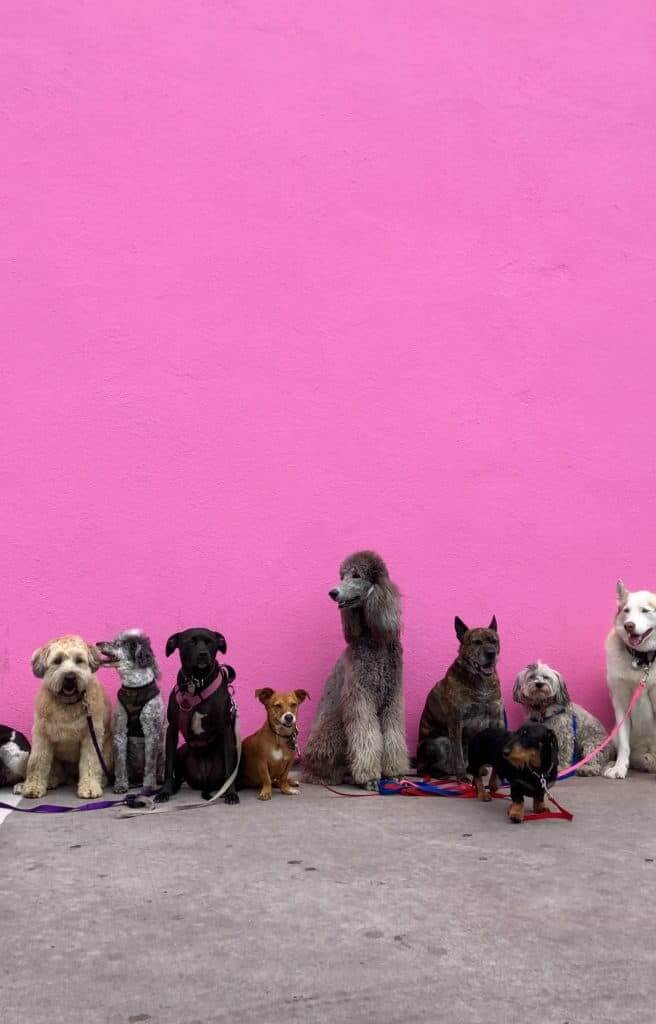 litter of dogs fall in line beside wall photo