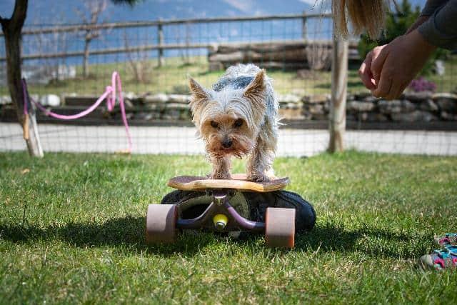 training my dog on how to balance his skateboard